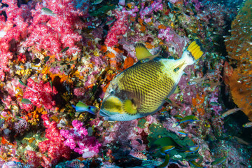 Poster Coral reefs Large Titan Triggerfish feeding on a colorful tropical coral reef