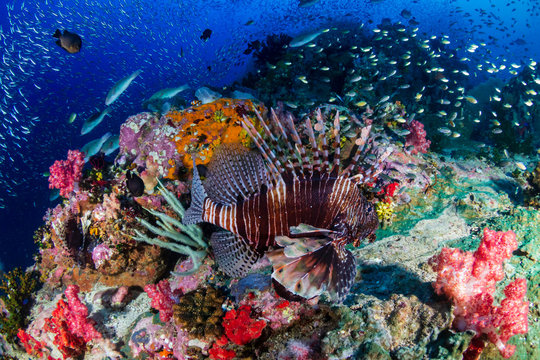 Lionfish on a colorful tropical coral reef in the Andaman Sea
