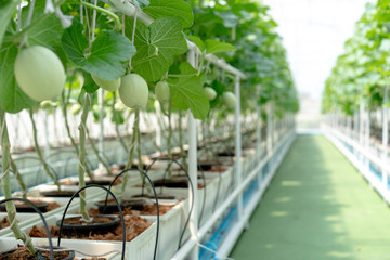 Farm is Japanese Melon Plants in Greenhouse. Line of Green Melon plant Growing in Organic Garden.