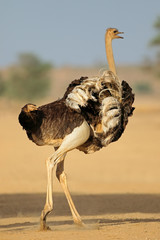 Poster Struisvogel Female ostrich (Struthio camelus) displaying with open wings, Kalahari desert, South Africa.