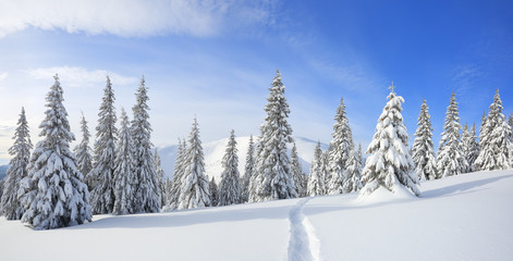 Foto auf Acrylglas Landschaft Panorama is opened on mountains, fluffy fir trees covered with white snow, lawn and blue sky with clouds. Winter forest. The wide trail. Location place Carpathian, Ukraine, Europe.