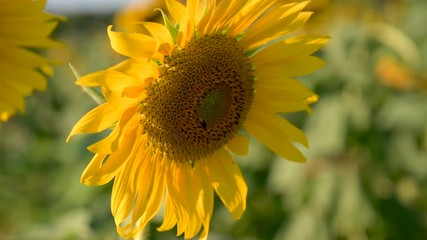 Fototapete - The bees and insects are swarming the yellow sunflower in the evening with golden light. VDO 4K