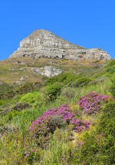 Mountain and field with pink flowers, bright blue sky, summer scene, Cape Town, South Africa