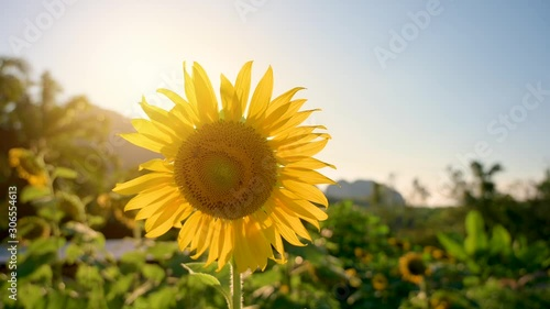 Wall mural The bees and insects are swarming the yellow sunflower in the evening with golden light. VDO 4K