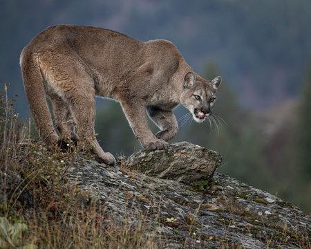 Mountain Lion Dee Dee Triple D Montana USA