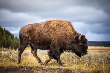Foto op Plexiglas Bison American bison walking and looking for food in Yellowstone National Park.