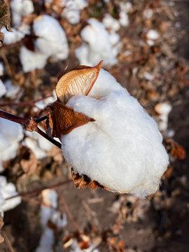Pima County Cotton Boll