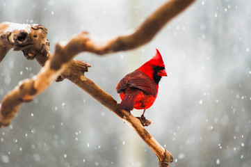 Cardinal on a Tree Branch in a Snow Storm