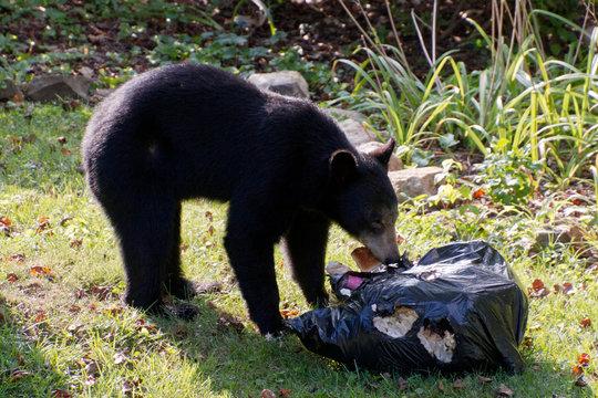 Urban Black Bear Raids a Neighborhood Garbage Bag for Food