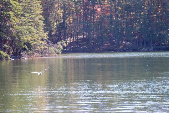 Great Blue Heron flying over Smith Mountain Lake, Virginia