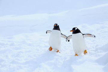 Foto op Textielframe Pinguin ジェンツーペンギン