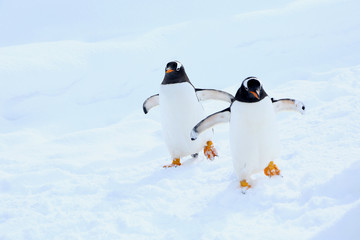 Foto op Aluminium Pinguin ジェンツーペンギン
