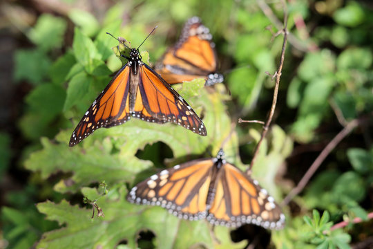 Monarch butterflies cling to a plant at the Sierra Chincua butterfly sanctuary on a mountain in the Mexican state of Michoacan
