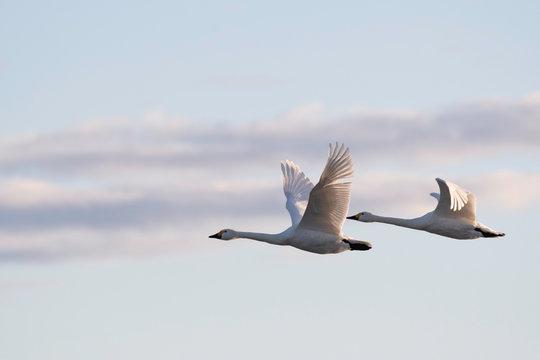 Whistling swans flying in the morning, in Lake Hyoko, Niigata prefecture, Japan