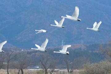 Whistling swans flying in Lake Hyoko, Niigata prefecture, Japan