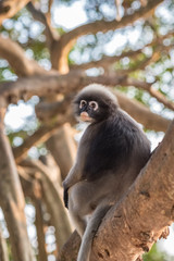 Dusky leaf monkey sitting on a tree branch