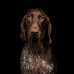 Funny Portrait of German Shorthaired Pointer Dog Stare in Camera on Black Background
