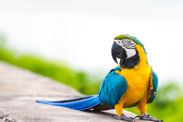 Poster Papegaai Blue macaw parrot