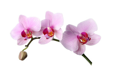 Keuken foto achterwand Orchidee Branch of beautiful pink Phalaenopsis orchid isolated on white