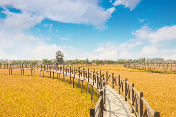 Canvas Prints Honey Under the blue sky and white clouds, the golden rice was heavy