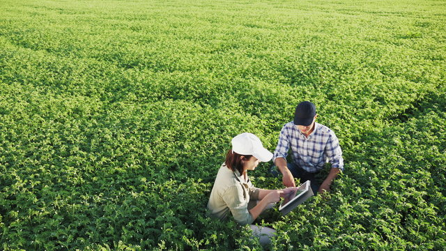 Top view of two young farmers working in a chickpea field, talk and use the tablet
