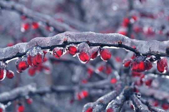 Barberry berberis vulgaris in winter