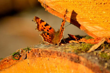Brown butterfly sits on a gold log cut