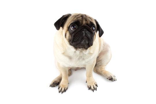 Cute pug dog looking innocent. Very sad dog isolated on white