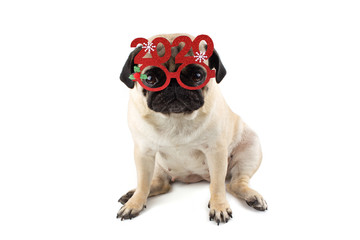 Sad innocent pug dog with Red Christmas glasses with numbers 2020. Isolated