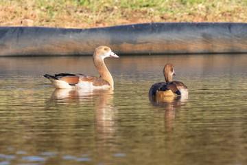 Juvenile Egyptian Goose, Alopochen aegyptiaca, swimming in a dam