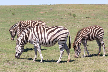 Burchell's Zebra, Equus quagga burchellii, Addo Elephant National Park, Eastern Cape, South Africa grazing with foal in grassland