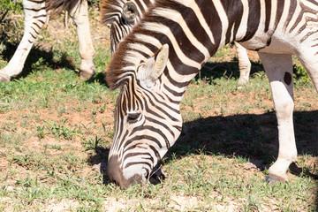 Burchell's Zebra, Equus quagga burchellii, Addo Elephant National Park, Eastern Cape, South Africa