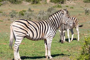 Burchell's Zebra, Equus quagga burchellii, with foal Addo Elephant National Park, Eastern Cape, South Africa