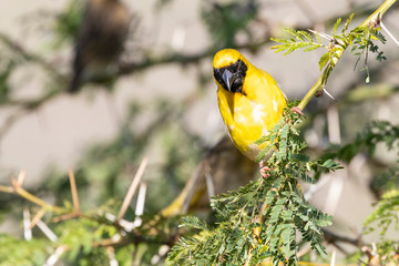 Southern Masked Weaver or African Masked Weaver, Ploceus velatus, perched on Fever Tree, Western Cape, South Africa