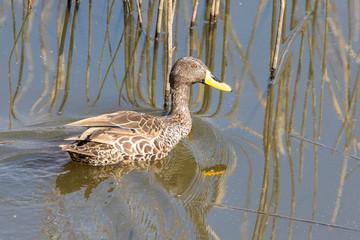 Yellow-billed Duck, Anas undulata, swimming on a dam near reeds