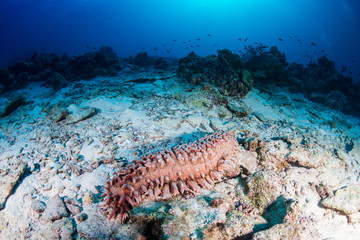 Wall Mural - Large Sea Cucumber on a coral reef