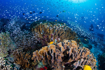Foto op Plexiglas Koraalriffen Beautiful tropical coral reef at Thailand's Similan Islands in the Andaman Sea