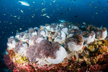 Huge carpet of Sea Anemones full of Skunk Clownfish on a tropical coral reef (Richelieu Rock)