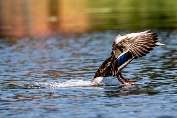 Wodująca kaczka na jeziorze