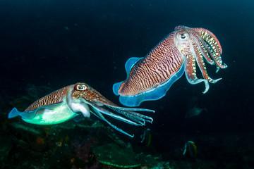Mating Cuttlefish on a coral reef at dusk (Richelieu Rock)