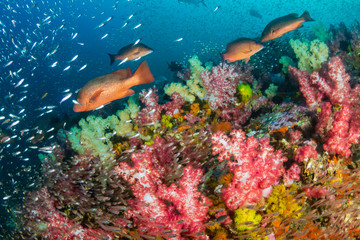 Red Snapper on a colorful tropical coral reef in the Andaman Sea