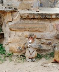 Macaque with his stolen banana