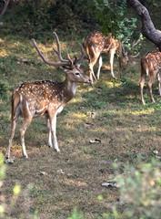 Male spotted deer on full altert