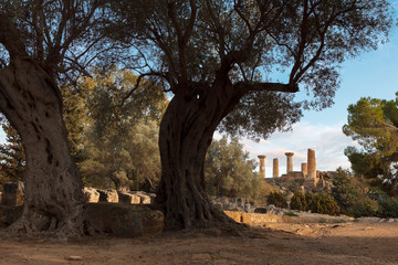 View on the temple of Heracles and old olive trees in the valley of the temples  in Agrigento