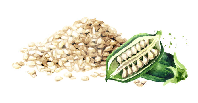 Sesame green pods with seed. Watercolor hand drawn illustration isolated on white background