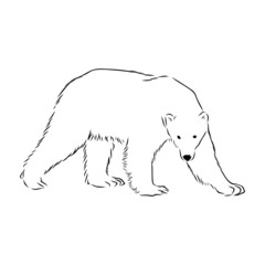 vector image of a polar bear
