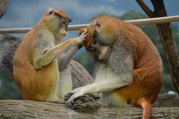 Patas monkeys grooming each other Wall mural