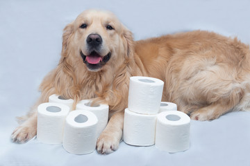 Toilet paper and Golden Retriever.White toilet paper on white background with dog.A few rolls.