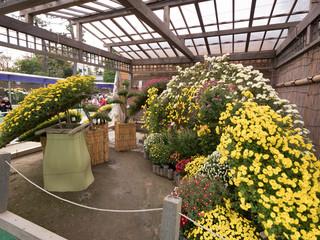 菊まつり 盆庭