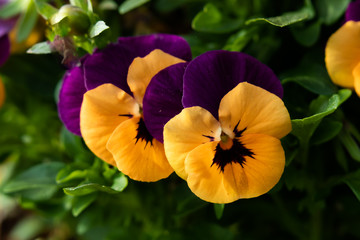 Purple with yellow pansies